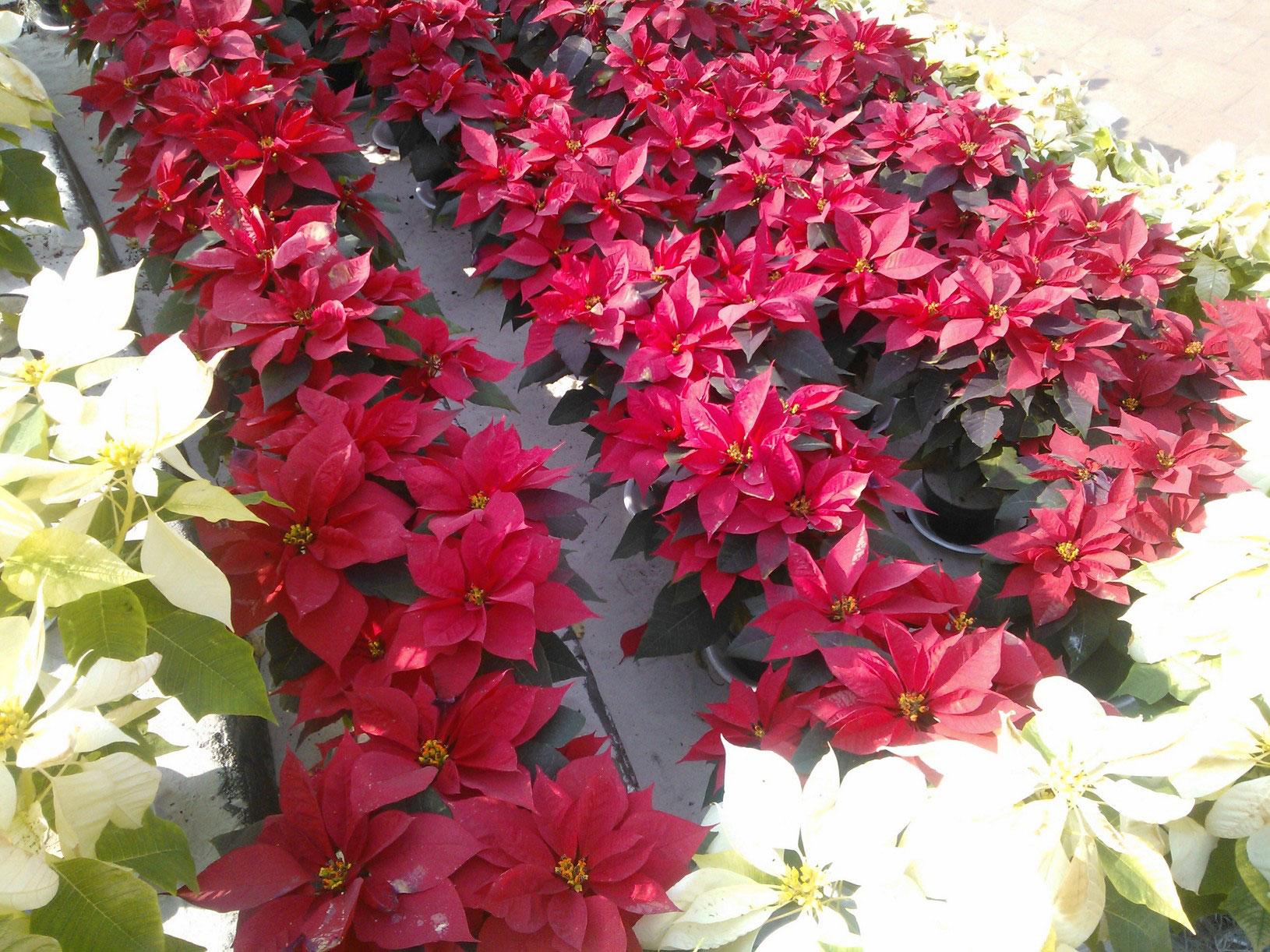 Poinsettias and winter weather/ Nochebuenas y clima navideño